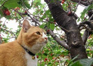 慈恵院 松之助 サクランボの木登り-1