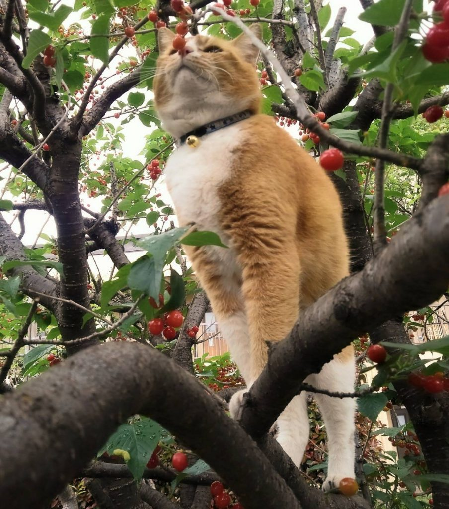 慈恵院 松之助 サクランボの木登り-2